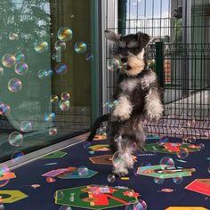 "Felícia GZ on Instagram: ""I'm always excited when I see bubbles #chaserdog #chasebubbles #bubblesarefun #happydog #showpetslove #dailybarker #schnauzerworld…"" Mini Schnauzer Puppies, Standard Schnauzer, Miniature Schnauzer, Schnauzers, Cute Puppies, Cute Dogs, Funny Animals, Cute Animals, Happy Dogs"