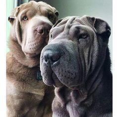 2 stunning Shar Peis  @camilopei #cute #cuteanimal #adorable #adorableanimal #animals #babyanimal #babyanimals #pet #pets #petsofinstagram #dailypet #dog #dogs #dogsofinstagram #dogscorner #dogstagram #doggy #sharpei #sharpeis #sharpeisofinstagram #sharpeilove #sharpeiofinstagram #sharpeipuppy #sharpeipuppies #pets #tagsforlikes #animals