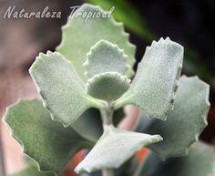 Detalle de las hojas de la planta Kalanchoe millotii Cacti And Succulents, Planting Succulents, Cactus Plants, Planting Flowers, Kalanchoe Blossfeldiana, Plant Drawing, Cactus Y Suculentas, My Flower, Houseplants