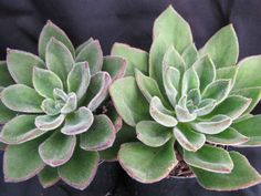 Echeveria 'Giant Mexican Firecracker' is a fantastic hybrid with green leaves covered with short hairs, branching stems and really amazing colors in strong light. The flowers are orange with yellow tip on a stems up to 12 inches (30 cm) tall...