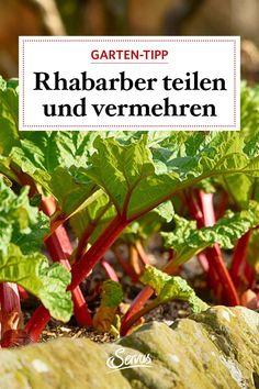 Nach sieben bis zehn Jahren geht die Bildung neuer Triebe beim Rhabarber zurück, dann ist es Zeit, die Pflanze zu verjüngen. Eine genaue Anleitung dazu gibt's hier zu finden. Green Beans, Meat, Vegetables, Food, Rhubarb Plants, Education, Essen, Vegetable Recipes, Meals
