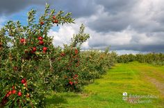 nice Apfelplantage Königreich Numero 3,  #Landleben