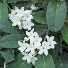 Madagascar Jasmine (Stephanotis floribunda) This is a great plant for indoor growing as it tolerates dry atmospheres and periods of neglectful watering. Often trained on a ring or a hoop, the flowers will emerge on the new growth of spring. Types Of Flowers, Cut Flowers, White Flowers, Beautiful Flowers, Jasmine Vine, Jasmine Plant, Gardenias, Wedding Plants, Wedding Flowers