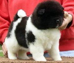 Collection of Akita Puppies cute, Akita pics, If You are Akita Lover, Let follow @cutepestsz (Cute Pets) to see more pics about Akita Puppies