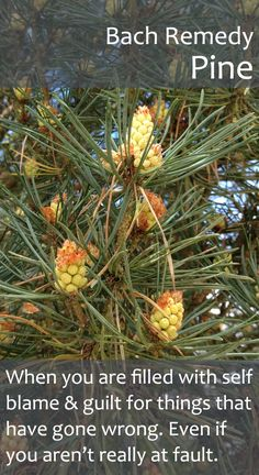 Bach Flower Remedy - Pine - Helps us to judge ourselves as kindly as we would others, restoring our self respect and our capacity to feel joy again. A powerful remedy!