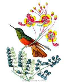 Green & Red Hummingbird Art Print no.9 Vintage Botanical and Bird print wall art Victorian art old prints Natural History 8x10 art print