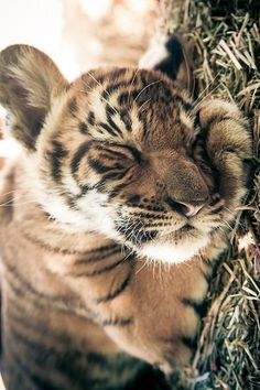 "wolverxne:  "" Sleeping Tiger cub - by: (Giane Porta)  """