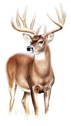 Deer --Wildlife Art by Kenny Oliver Wildlife Paintings, Wildlife Art, Animal Paintings, Animal Drawings, Art Drawings, Horse Drawings, Pencil Drawings, Deer Paintings, Drawing Art