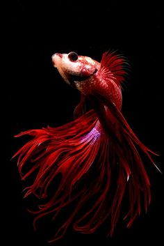"""Let's name this one, """"Scarlett!""""  I used to have a BEAUTIFUL Betta named that! :)  She lived more than two years!"""
