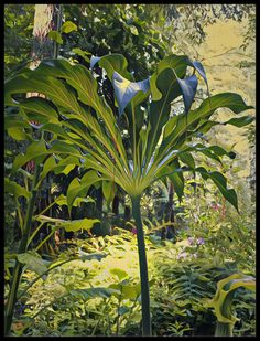 Arisaema tortuosum var. helleborifolium