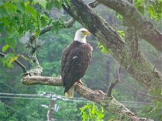 2010 - Amerian Bald Eagle seen near Hindman Settlement School, Hindman, KY.  There is a nest at Carr Fork Lake.