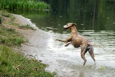 Happy whippet