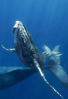 World s best big animals encounters for scuba divers diving scubadiving baby ocean animals who are here to brighten your day ocean conservancy The Animals, Water Animals, Large Animals, Strange Animals, Rettet Die Wale, Life Under The Sea, Save The Whales, Underwater Life, Delphine