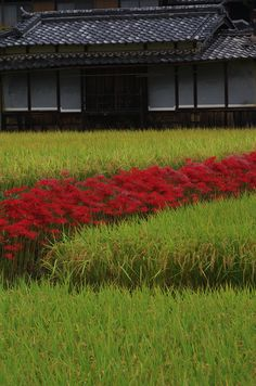 Village of cluster amaryllis - Kyoto - Japan