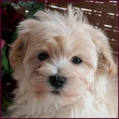 Dogs DIY Tear Stain Removal and prevention How to Choose the Best Lighting for Your Greenhouse Choos Maltipoo Puppies For Sale, Dogs And Puppies, Doggies, Dog Tear Stains, Maltese Dogs, Pet Grooming, Dog Care, Dog Pictures, Dog Breeds