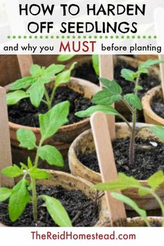 Don't forget to harden off your seedlings before you plant them! Growing your plants from seed is a lot of work, and you can lose them if you plant them without hardening them off first. This simple tutorial help you learn how. ~The Reid Homestead #hardeningoff #seedlings #seed #plantingtips #gardeningtips #vegetablegardening Hardening Off Seedlings, Organic Gardening Tips, Vegetable Gardening, Flower Gardening, Gardening Shoes, Gardening Hacks, Urban Gardening, Beautiful Flowers Garden, Growing Vegetables