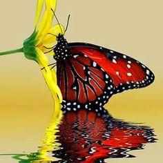 Beautiful Red Butterfly on yellow flower. Papillon Butterfly, Butterfly Kisses, Butterfly Flowers, Yellow Flowers, Butterfly Images, Monarch Butterfly, Butterfly Painting, Butterfly Species, Butterfly Party