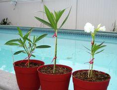 Hasznos tanácsok a leander szaporításához Dream Garden, Herb Garden, Aloe Vera, Outdoor Gardens, Planter Pots, Herbs, Gardening, Nature, Plants