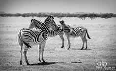 Zebras. Wildlife photo taken at Dronfield Nature Reserve outside Kimberley. #zebra #wildlife #nature #photography #gertjgagiano