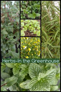 Herbs in the Greenhouse...March 27, 2016 Chocolate mint, mint, rosemary, basil, chamomile, and more mint