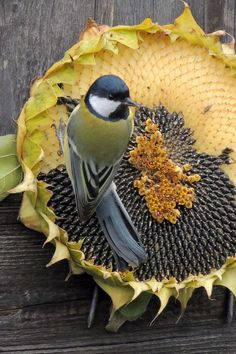 Bird eating Sunflower Seeds Directly from Sunflower