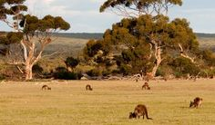 13 Things I want to do in Australia // Kangaroo Island // Whispers of the Road Visit Australia, South Australia, Australia Travel, Australia 2017, Jamaica, Australia Kangaroo, Kangaroo Island, Great Barrier Reef, Global Warming