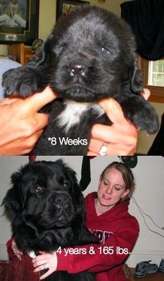 """newfoundlands   Oh wow- I think """"Never"""" is the right answer for how long it would take to talk D into this one. But I'm going to try anyway :) I mean, could you imagine snuggling with this guy? Oh yes, I think so."""