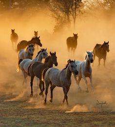 Arabian horses Texas Photo by Wojtek Kwiatkowski