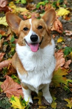 one happy corgi!