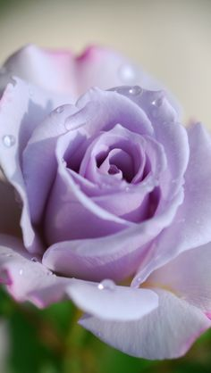 My favorite kind of rose ever ...the Sterling Silver Rose. It actually is a lavender purple color but just beautiful!