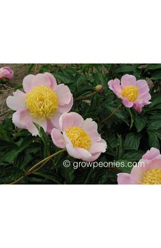 (Bigger, This fine, upright peony grows tall with large flowers that hold well in the heat. The medium pink flowers with bright yellow centers are very nice cut. Yellow Peonies, Buy Peonies, Large Flowers, Pink Flowers, Gold Medal Winners, Growing Peonies, Peony Flower, Countryside, Bloom
