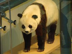 The Giant Panda that is on exhibit in the National Museum of Natural History's Mammal Hall is *not* either Ling Ling or Hsing Hsing, the two pandas that lived at the National Zoo. The specimen that is on exhibit is USNM 259027, a wild-caught panda th Pandas are rare and cherished in China.