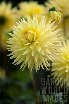 'Oakwood Goldcrest' Dahlia