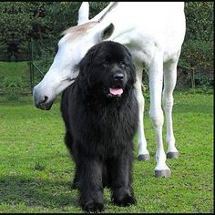 Newfoundland dog and Best friend! I need one of these! they are massive!