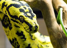 Jungle Carpet Python (Morelia Spilota Cheynei) by OrangeRoom