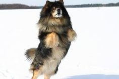 Lapphunds is very smart and hard working