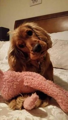English Cocker Spaniel ~ Classic Look Perro Cocker Spaniel, Golden Cocker Spaniel, American Cocker Spaniel, English Cocker Spaniel, Cute Puppies, Cute Dogs, Dogs And Puppies, Doggies, Spaniel Breeds