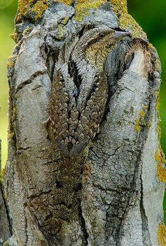 The camouflage of the Eurasian wryneck Nature Animals, Animals And Pets, Funny Animals, Cute Animals, Pretty Birds, Beautiful Birds, Animals Beautiful, Imagen Natural, Tier Fotos