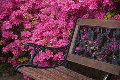 azalea,spring,jeongdongjin,KOREA by e.s lee