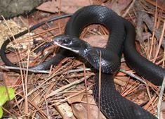 Black Racer  Black Racer (Coluber constrictor) Good snake srelherp.uga.edu