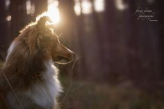__In the woods__ by Anna Lena Wöhrer - Sheltie, animal, puppy, shetland sheepdog, Dream Photography, Animal Photography, 7 Month Olds, Shetland Sheepdog, Sheltie, How To Look Pretty, Woods, Frozen, Anna