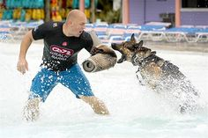 Officer Ryan Flannigan of the Tampa Police Department's K-9 Unit wears a bite sleeve as Rick, a 4-yr old German shepherd, launches himself at Flannigan during water training. Before Adventure Island drains its pools for the season, it is giving local law enforcement a unique training opportunity.