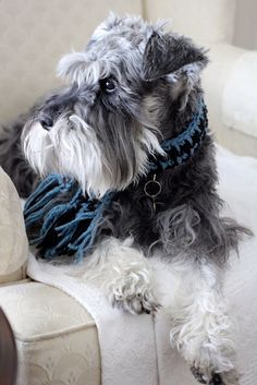 Aww! What a darling little mini schnauzer wearing scarf, absolutely adorable❤️