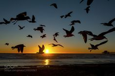 Seagulls in Flight at Sunset in Oceanside by cruse  beach beautiful birds blue california light ocean oceanside rocks sea seagulls seascape sky sun suns
