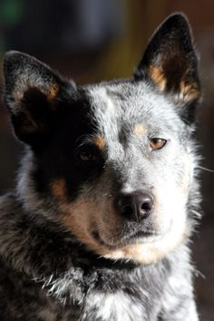 australian cattle dog - Bing Images