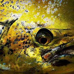 El-dorado... #realityfishing #fishing #pescatv #italy #nikontop #panama #america #centroamerica #bocasdeltoro #atlantico #atlantic #caraibi #carribean #pacific #pacifico #lampuga #oceano #tranquilobay #atp_panama  #visitpanama #tropicstarlodge #pinasbay #
