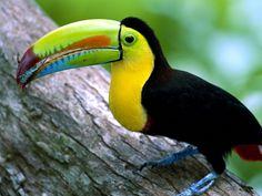 Kell - Billed Toucan