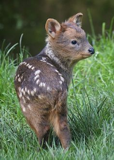 This is a tiny baby pudu, barely taller than a blade of grass.