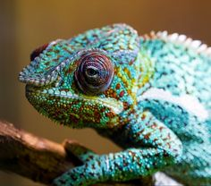 """Chameleon. """"If you don't like my color I can change it"""""""