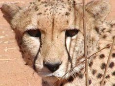 RIP cheetah Klein. Passed away, 12 years old...we miss you!